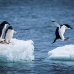 Nick Dale, Adelie penguin jumping between two ice floes